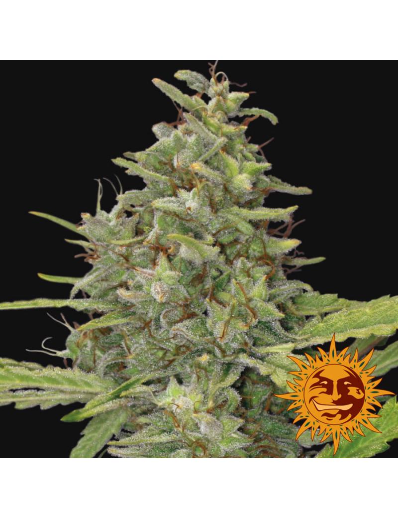 G13 Haze – Buy Feminized Cannabis Seeds – Barney's Farm Seeeds 3