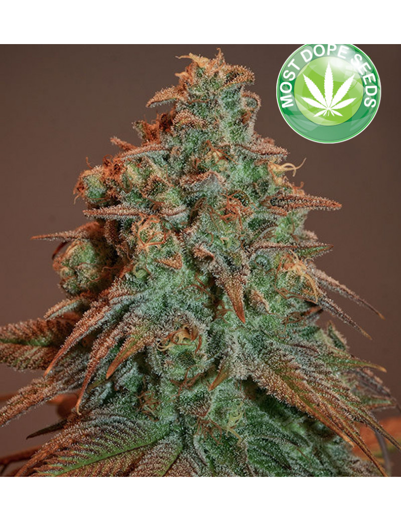 NOVA OG Autoflower - Cannabis plant with a very high THC content - Anesia  Seeds Seeeds 3