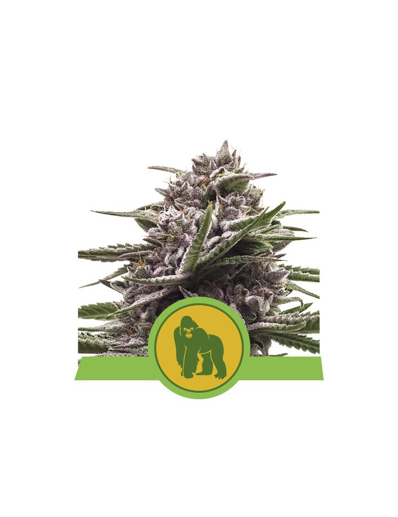 Royal Gorilla Autoflower - Buy Feminized Cannabis Seeds - Royal Queen Seeds  Seeeds 3