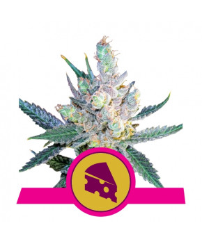 Royal Cheese (Fast Flowering)