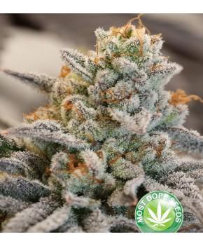 Vanilla Frosting - Wiet Cannabis Zaden
