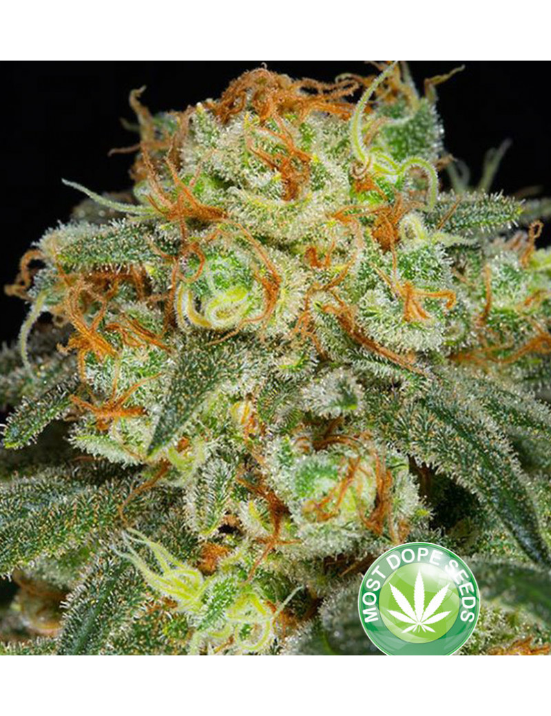 California Kush Weed - indica dominant with high thc percentage and good  yield  Seeeds 3