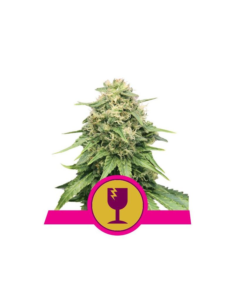 Critical Weed