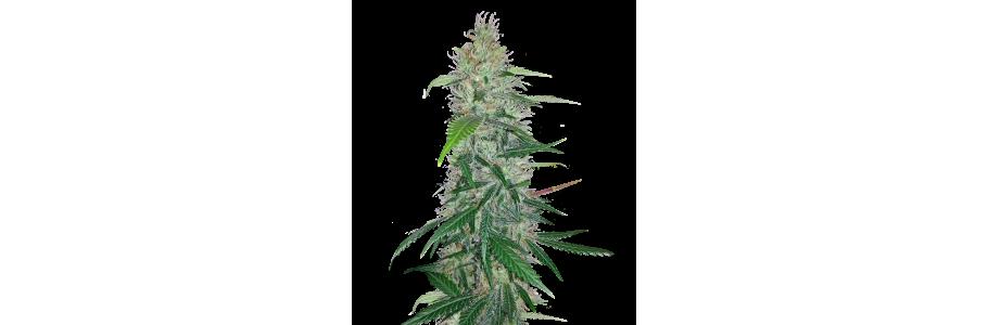 Anesia Seeds - High THC cannabis