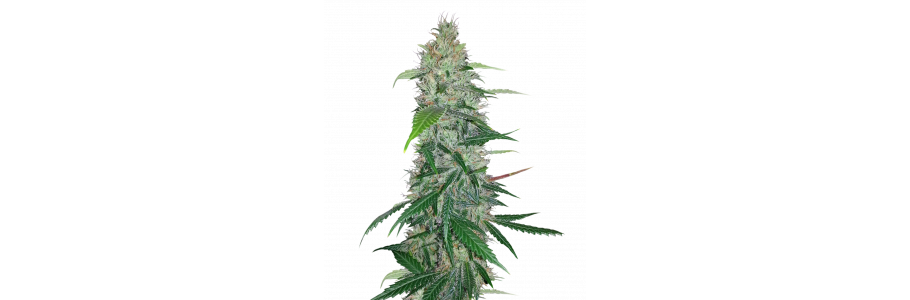 Anesia Seeds - hochpotenter Cannabis Strains
