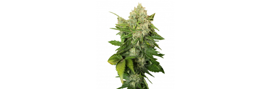 Royal Queen Seeds - Premium Cannabis Seeds