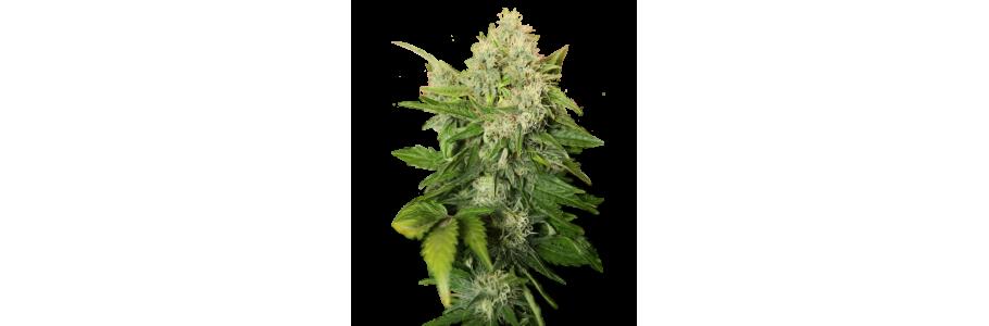 Royal Queen Seeds - feminisierte Cannabissamen.