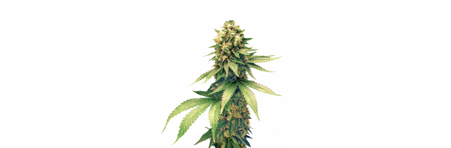 Hybrid Seeds - Crosses between sativa and indica cannabis plants