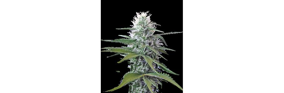 Wiet zaden met hoogste THC gehalte.