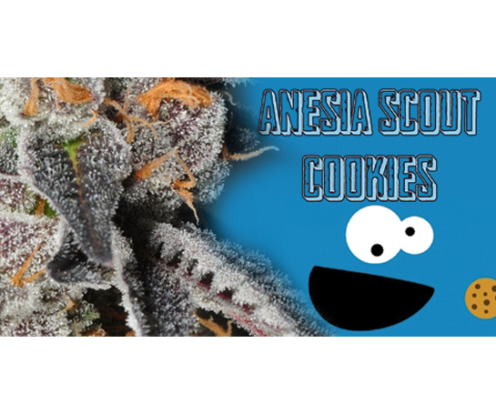 Scout Cookies Weed Cannabis