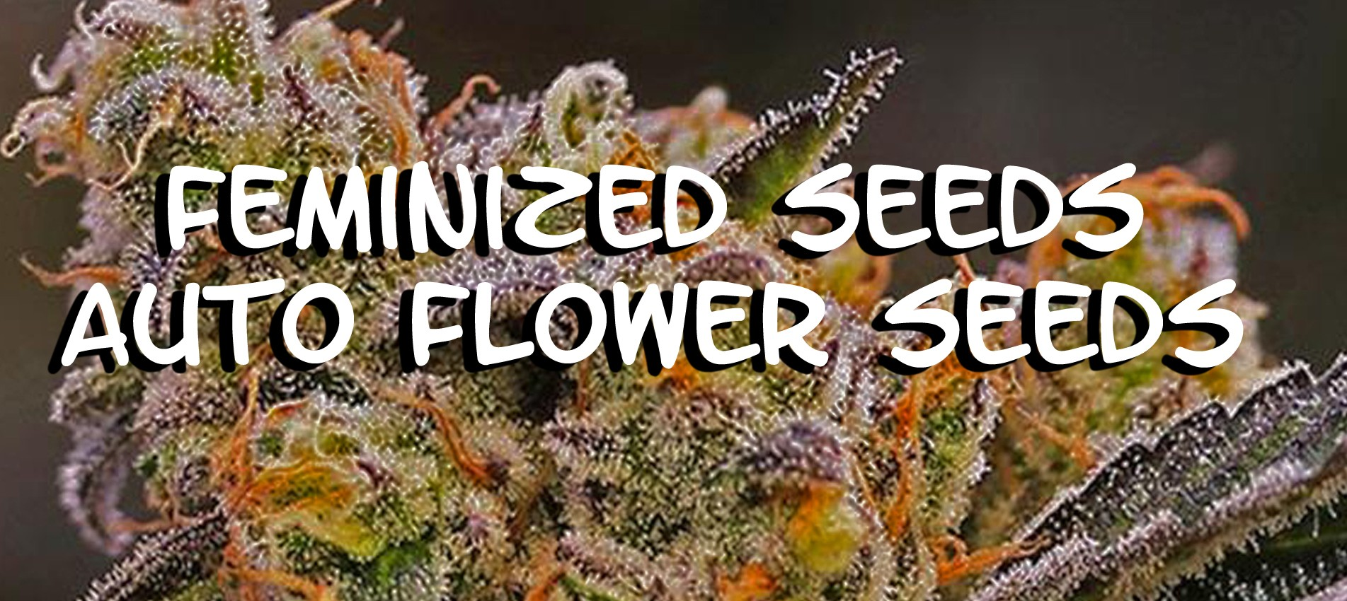 Cannabis Weed Seeds